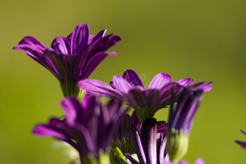 Fleurs pourprées sur le fond vert photo stock