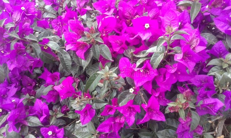 Fleurs pourprées Usine exotique, fleurs exotiques image libre de droits