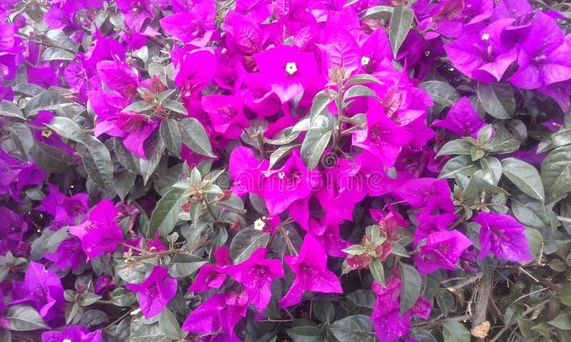 Fleurs pourprées Usine exotique, fleurs exotiques photos stock