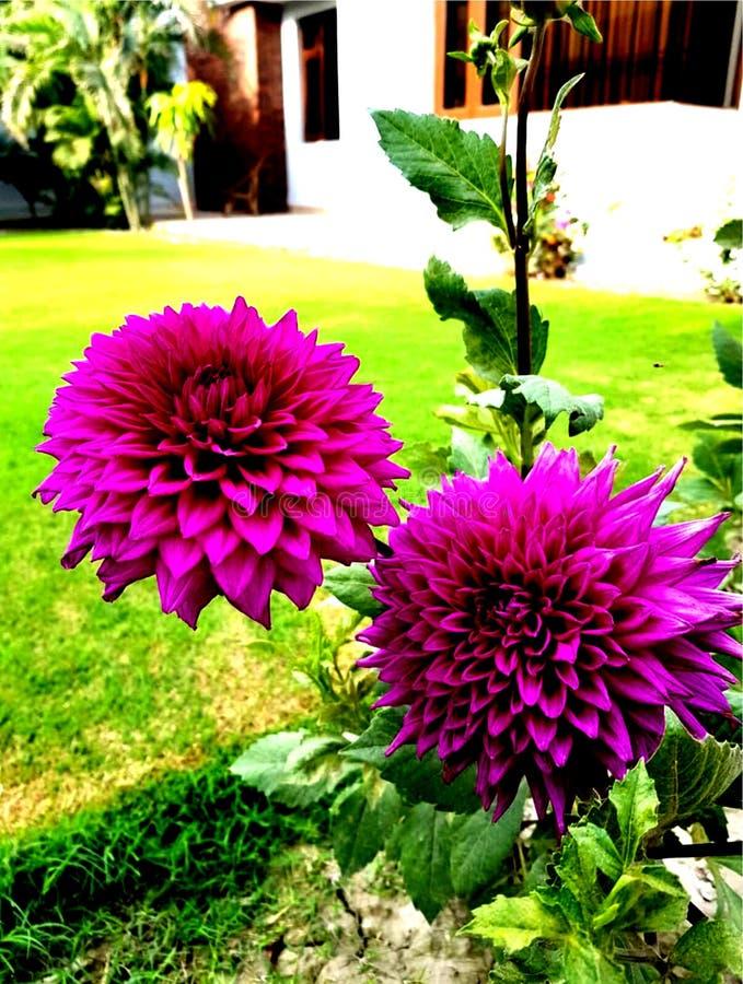 Fleurs pourpr?es avec les lames vertes photo stock