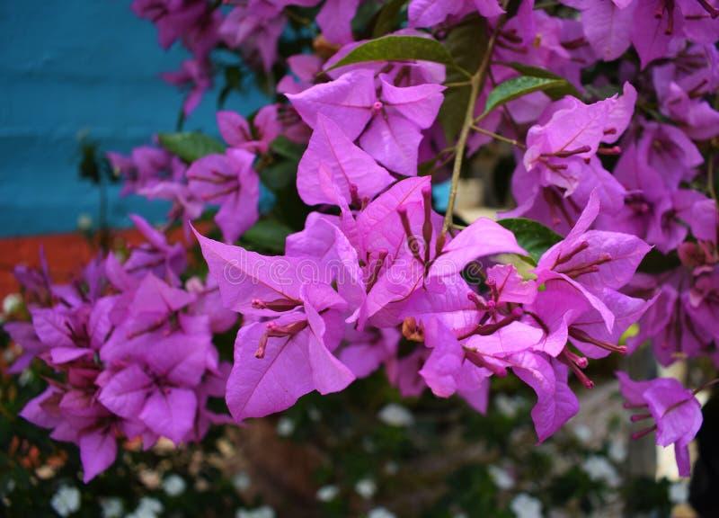 Fleurs pourpres à un arrière-plan bleu photo stock