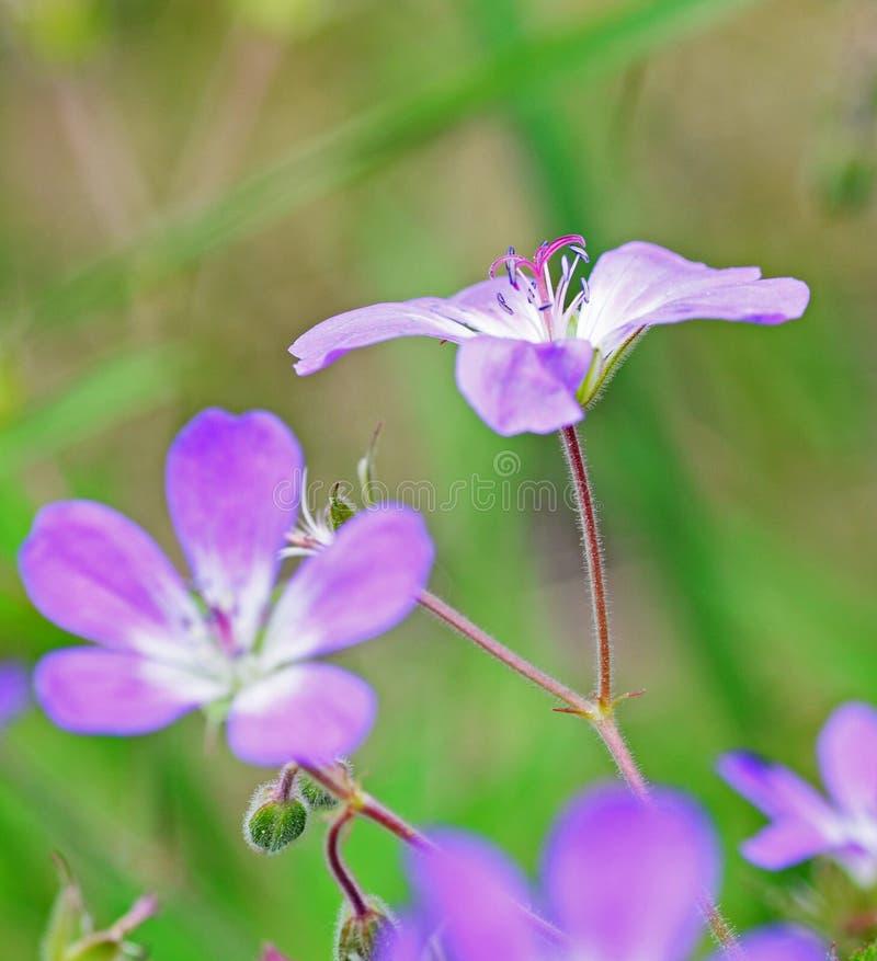 Fleurs pourpres image stock