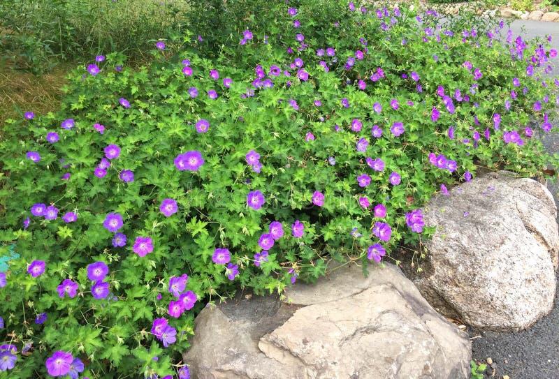 Fleurs pourpres au-dessus de restriction images stock