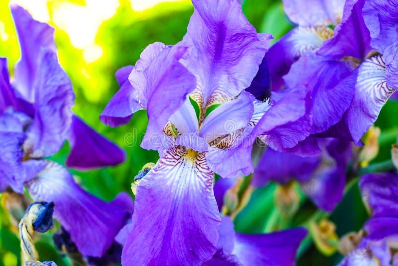 Fleurs pourpres au soleil image libre de droits