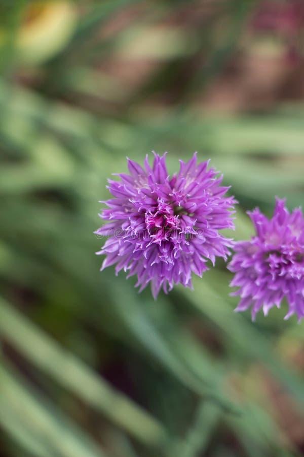 Fleurs pourpres d'ail photos stock