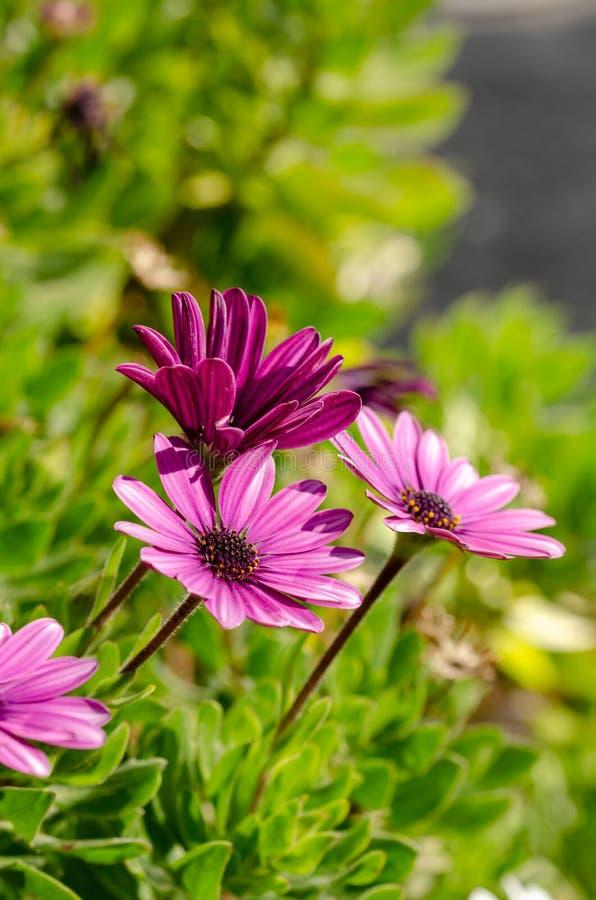 Fleurs pourpres d'ecklonis d'Osteospermum macro en parc photographie stock libre de droits