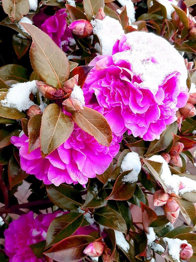 Fleurs pourpres de camélia avec la neige sur le dessus photo libre de droits