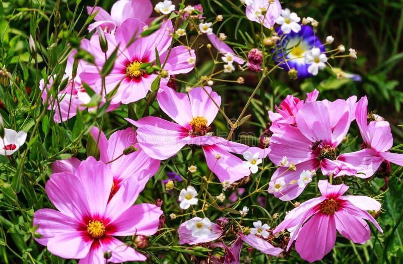 Fleurs pourpres de Cosmea sur le pré de fleur photo stock