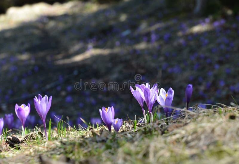 Fleurs pourpres de crocus en soleil photos libres de droits