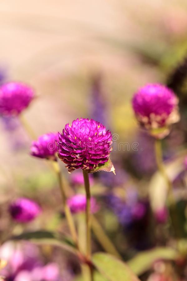 Fleurs pourpres de fleur de globosa de Gomphrena photos stock