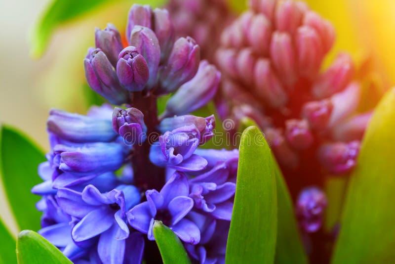 Fleurs pourpres de jacinthe en plan rapproché de jardin image stock