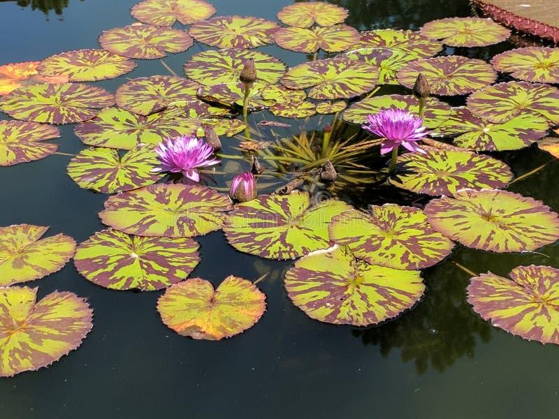 Fleurs pourpres de l'eau images stock