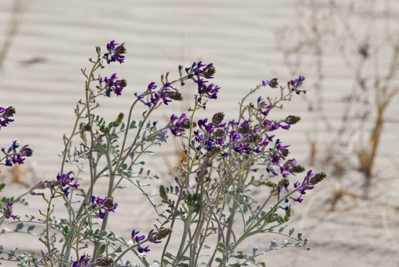 Fleurs pourpres de paysage de d?sert photographie stock