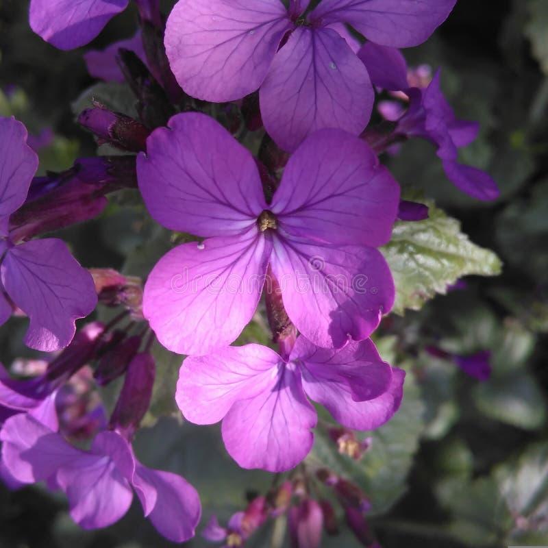 Fleurs pourpres de ressort photo libre de droits