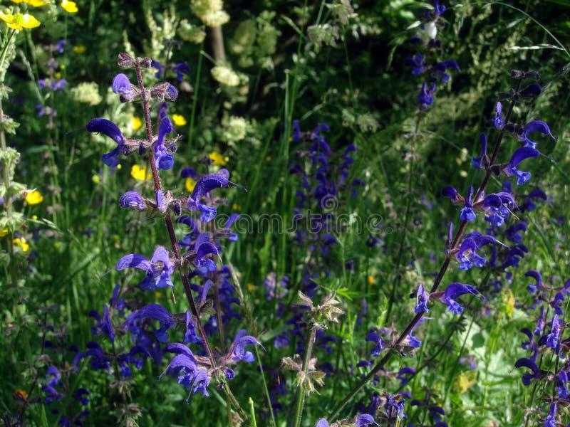 Fleurs pourpres de sauge sauvage sur le pré de fleur près de la forêt images stock