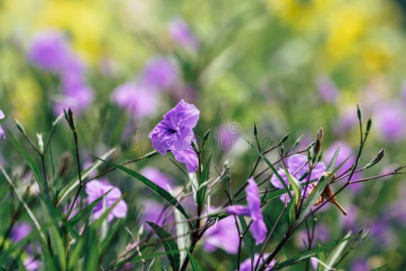 Fleurs pourpres de Waterkanon fleurissant dans le jardin images stock