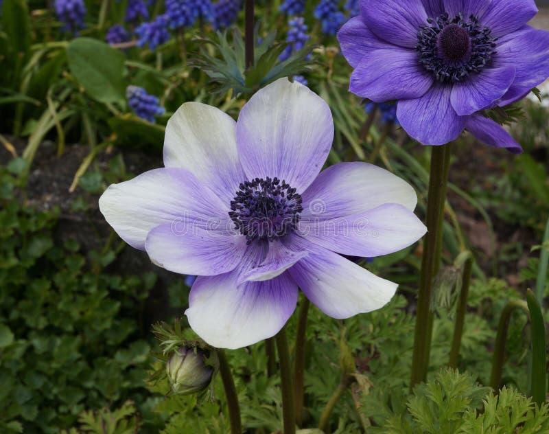 Fleurs pourpres et blanches de Poppy Anemone photographie stock