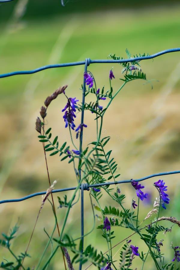 Fleurs pourpres sauvages photographie stock libre de droits