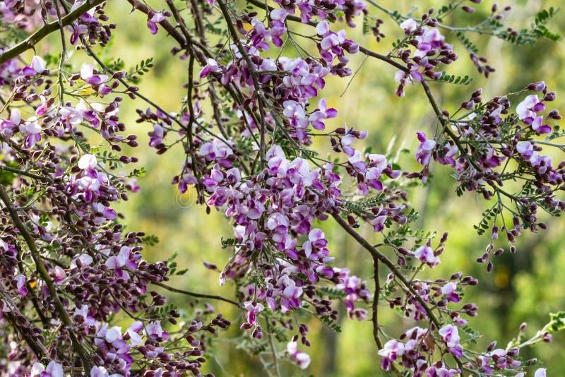 Fleurs pourpres sur des branches d'arbre d'Ironwood de désert dans le desertr du ` s Sonoran de l'Arizona photo libre de droits