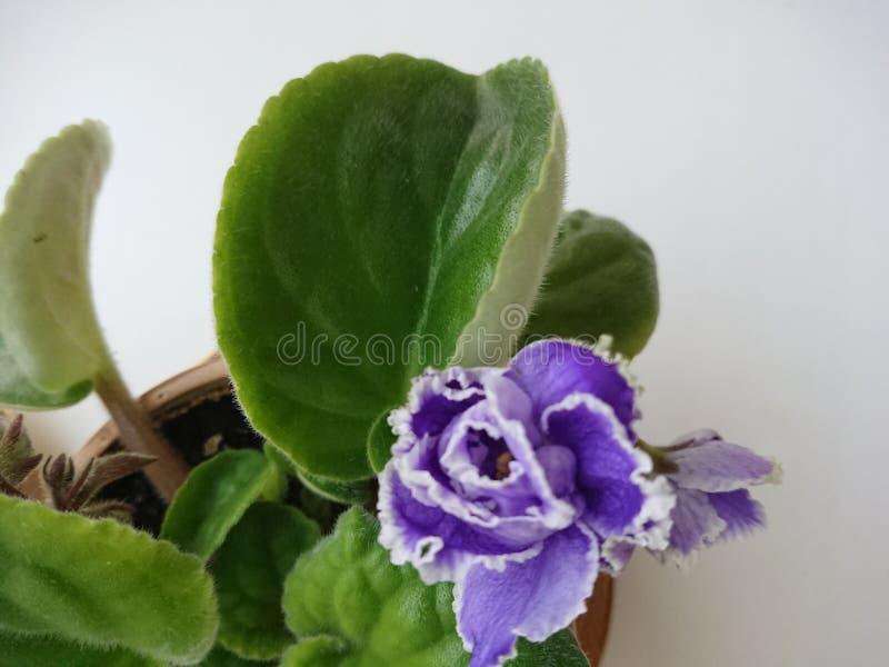 Fleurs pourpres sur le fond blanc photo stock