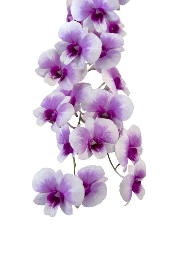 Fleurs pourpres sur un fond blanc photographie stock libre de droits
