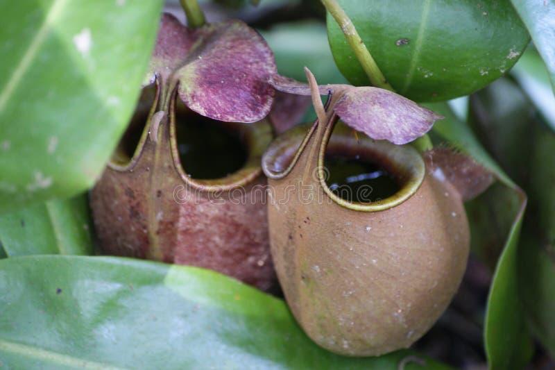 Fleurs prédatrices. images stock