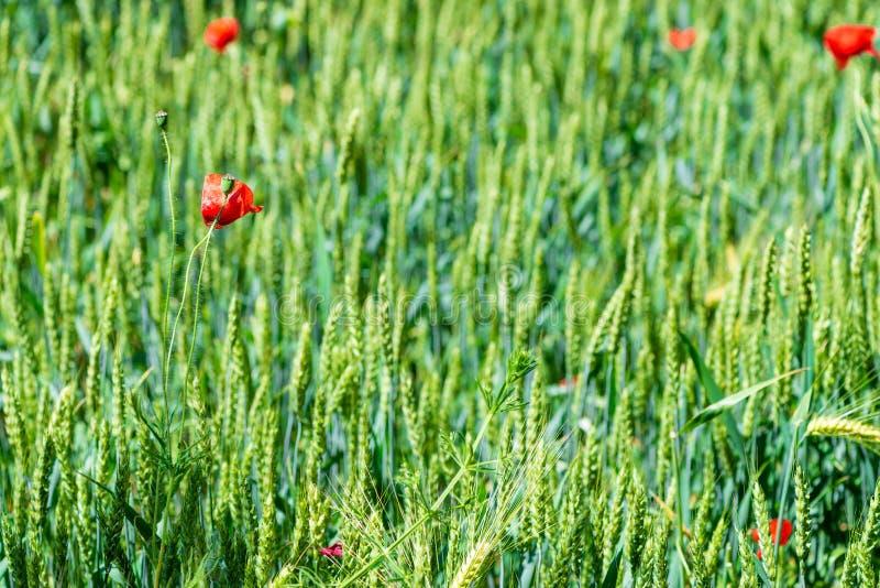 fleurs rares de pavot dans des oreilles vertes de blé photos stock