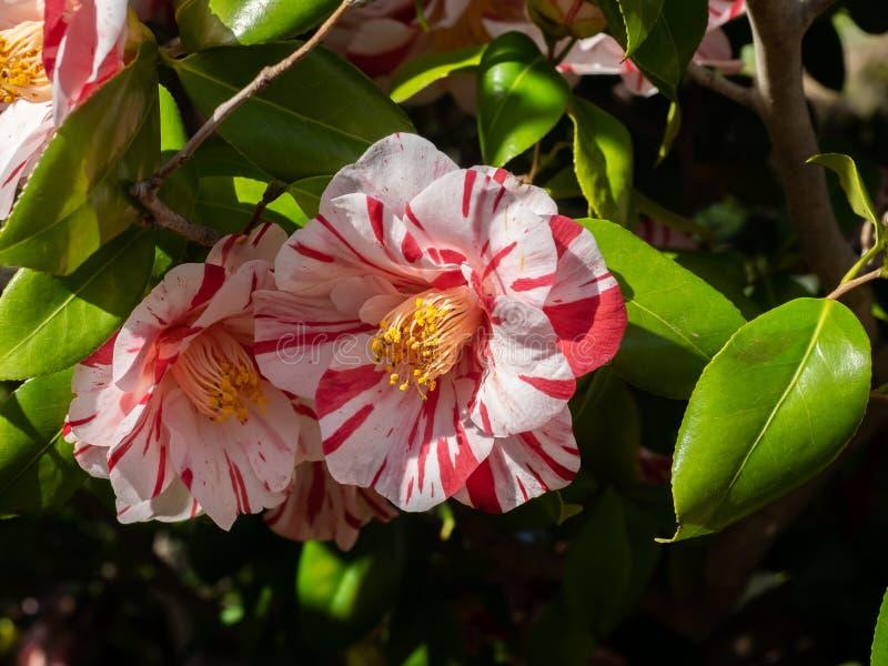 Fleurs rayées rouges et blanches de camélia images stock