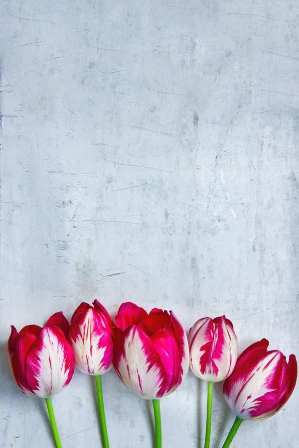 Fleurs rayées rouges et blanches de tulipes sur le fond de Grey Stone Concrete Cement Metal Jour du ` s de femmes du ` s de mère  image libre de droits