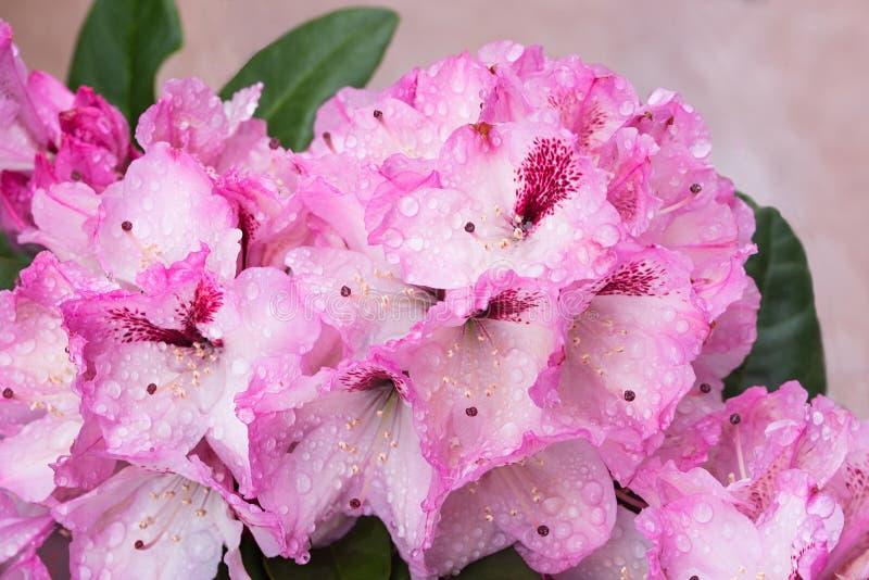 Fleurs rose-clair de rhododendron avec des baisses de rosée image stock