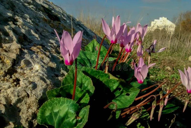 Fleurs rose-clair sensibles de cyclamen, devant la grande roche photo libre de droits