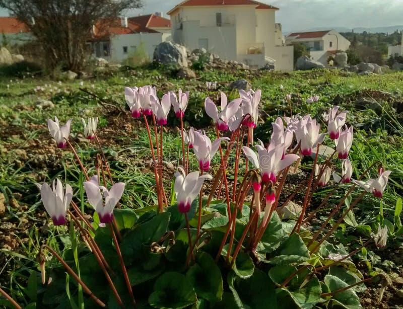 Fleurs rose-clair sensibles de cyclamen, sur la colline couverte de bosquet vert, avec le ciel nuageux et les maisons à l'arrière photographie stock libre de droits