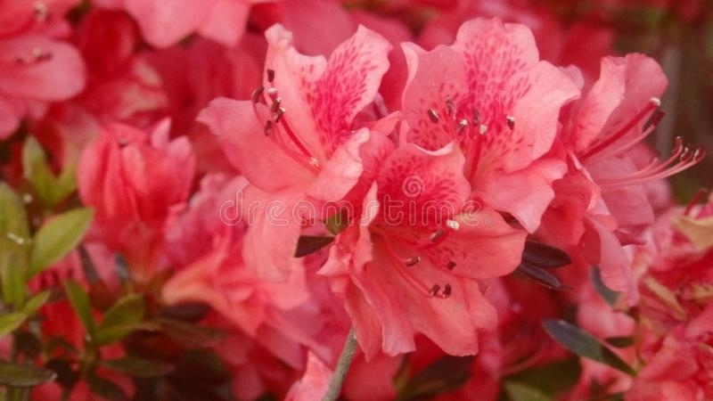 Fleurs roses images stock