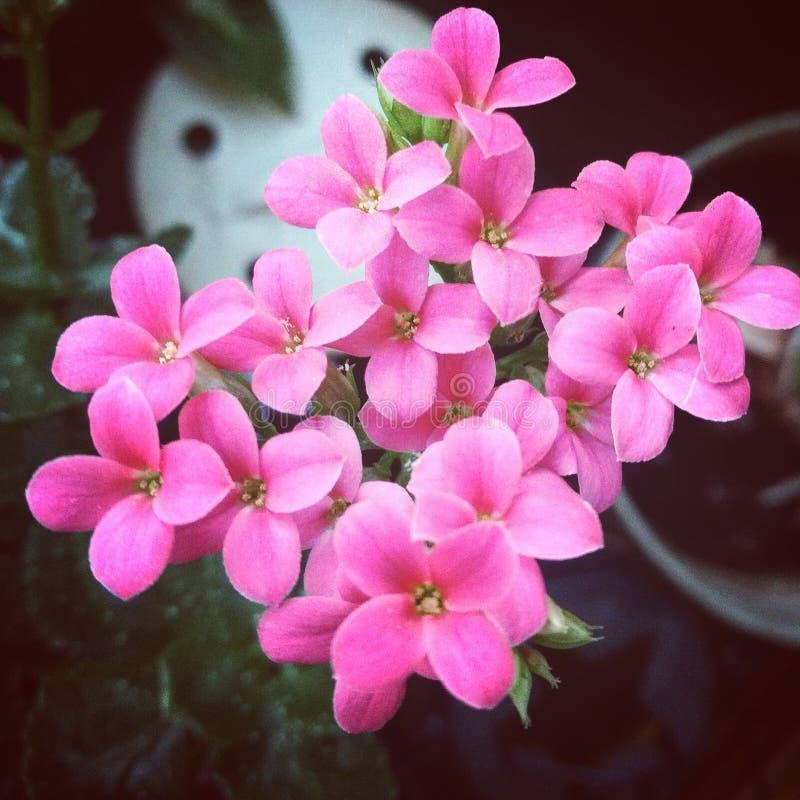 Fleurs roses photo stock