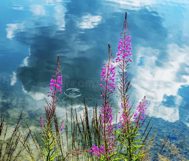 Fleurs roses alpines et réflexion des nuages dans l'eau photo libre de droits