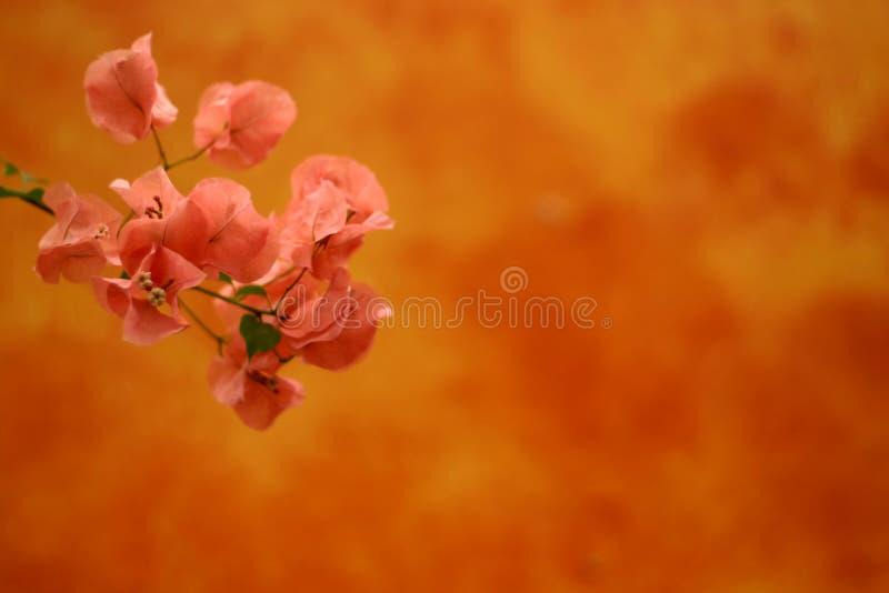 Fleurs roses au-dessus d'orange photo stock
