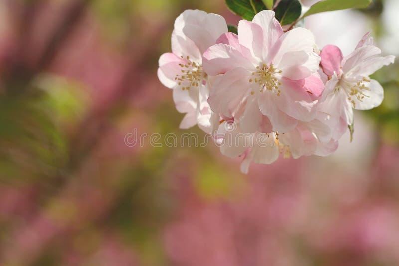 Fleurs roses au printemps photographie stock libre de droits