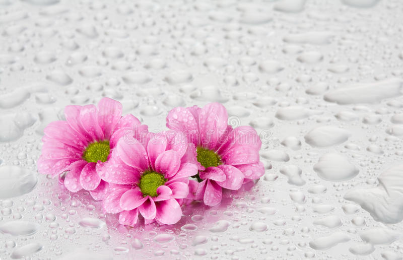 Fleurs roses avec des baisses de l'eau photos stock
