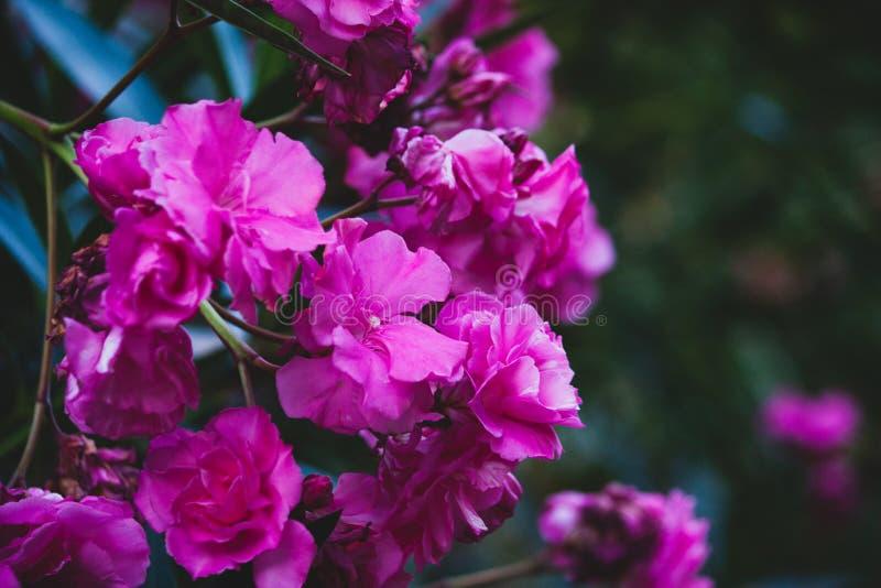 Fleurs roses avec le fond vert photographie stock libre de droits