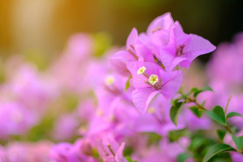 Fleurs roses, bouganvillée photos libres de droits