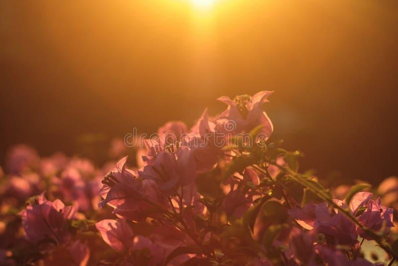 Fleurs roses brillant au coucher du soleil ?clair? ? contre-jour en parc photos libres de droits