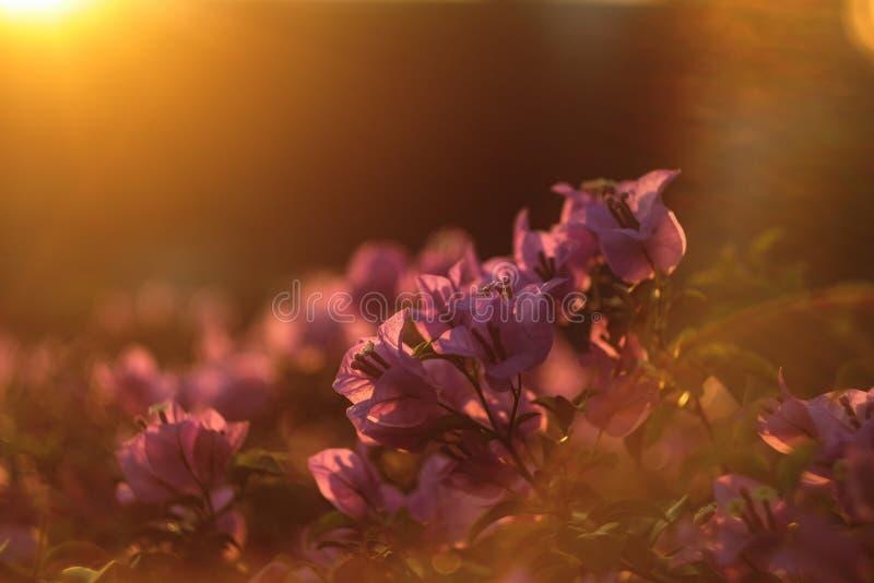 Fleurs roses brillant au coucher du soleil ?clair? ? contre-jour en parc photographie stock