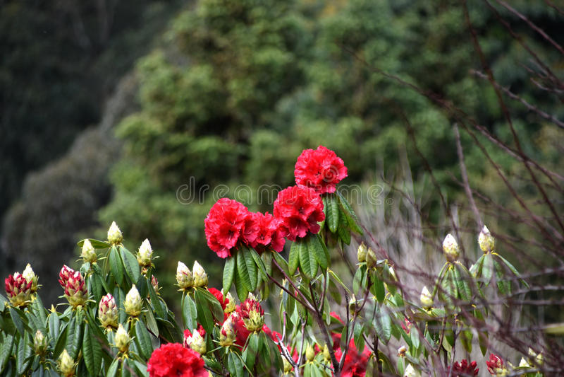 Fleurs roses - camélia photos libres de droits