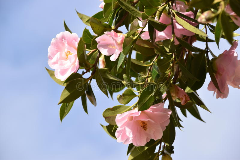 Fleurs roses - camélia photos stock