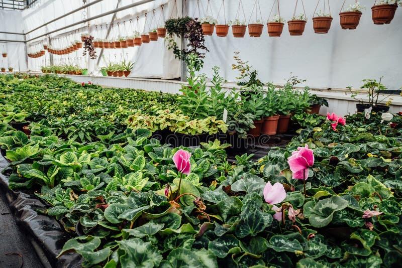Fleurs roses croissantes de cyclamen en serre chaude d'hiver images libres de droits