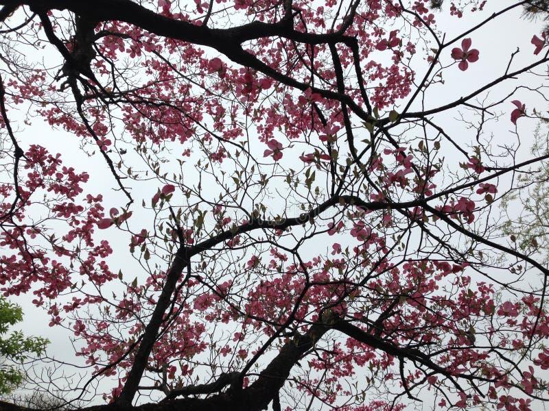 Fleurs roses d'arbre photo libre de droits