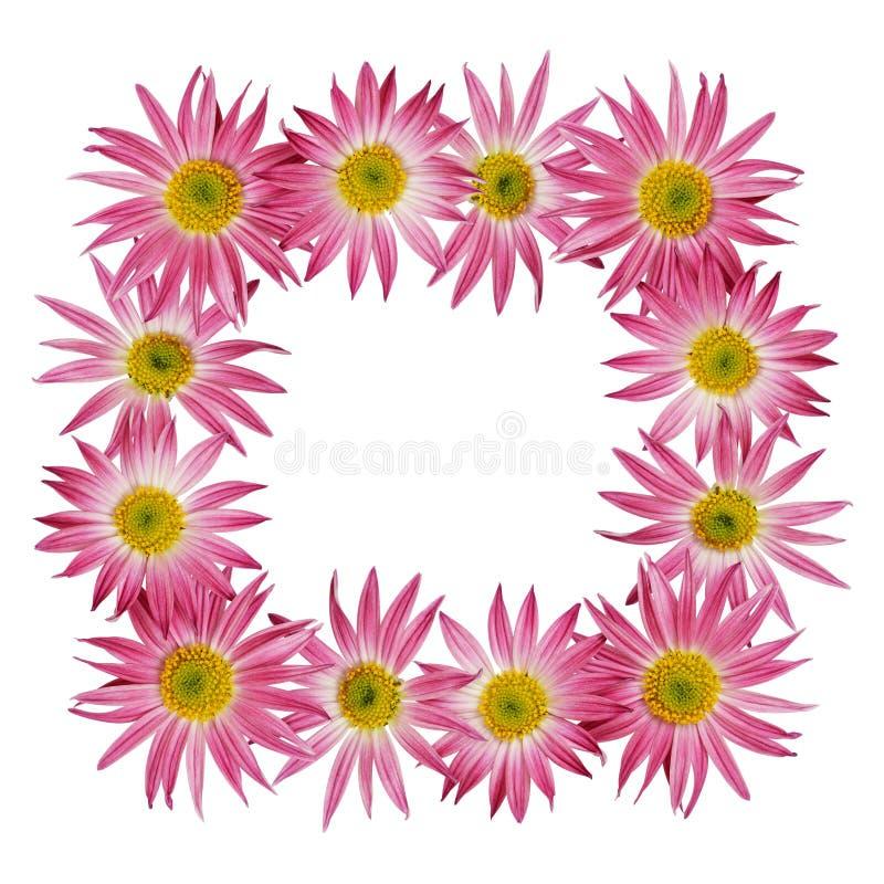 Fleurs roses d'aster dans un cadre photo stock