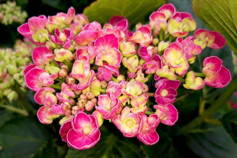 Fleurs roses d'hortensia photographie stock libre de droits