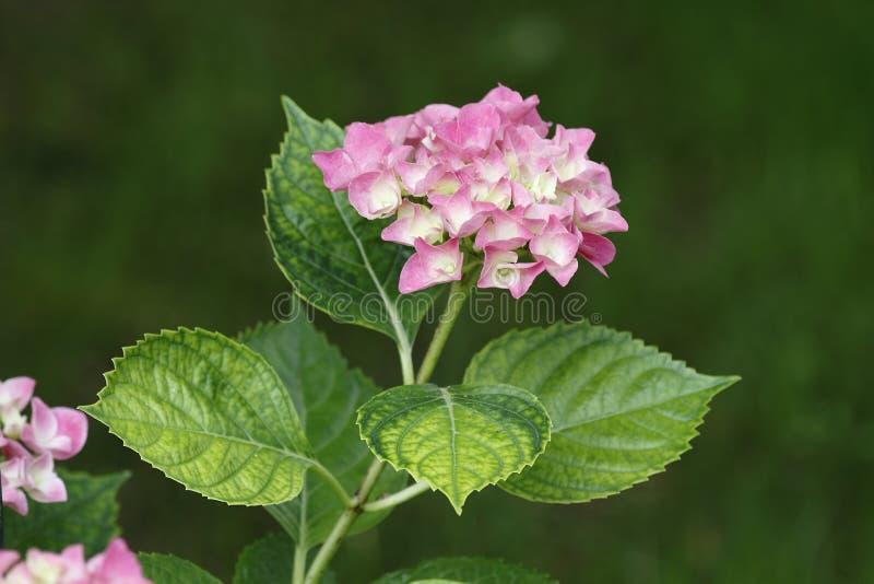 Fleurs roses d'hortensia avec les feuilles vertes sur le fond foncé images libres de droits