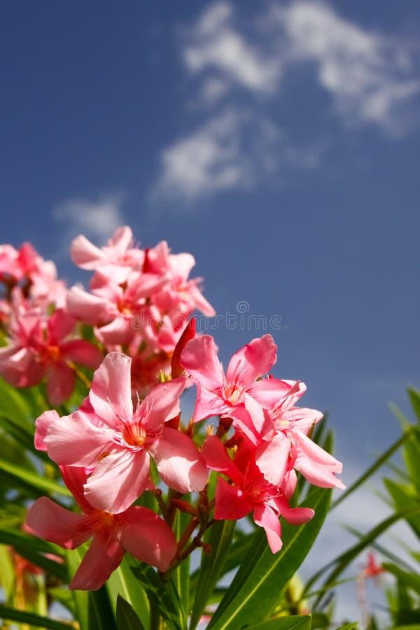 Fleurs roses d'oléandre, cieux bleus, nuages blancs photographie stock